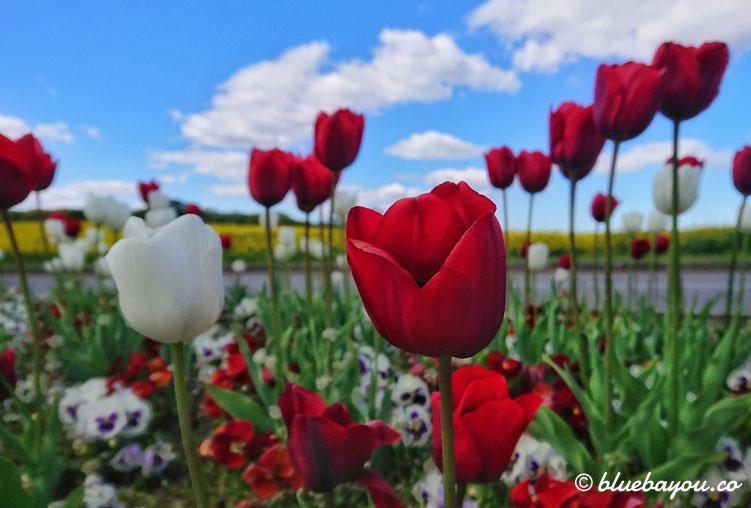 Fotoparade Pflanzen: Tulpen vor einem Rapsfeld an der Ostsee.