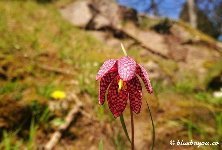 Fotoparade Pflanzen: Diese Schachblume fand ich in Bad Wildbad im Schwarzwald.
