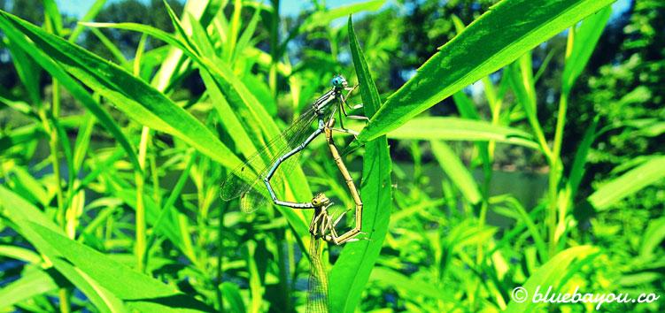 Nahaufnahme zweier Libellen, die sich nahe des Rheinufers körperlich annäherten.