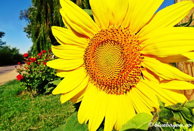 Eine Sonnenblume entlang meiner 72-km-Wanderung.