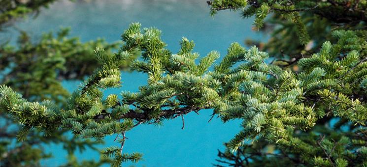 Bäume am Moraine Lake im kanadischen Banff Nationalpark.