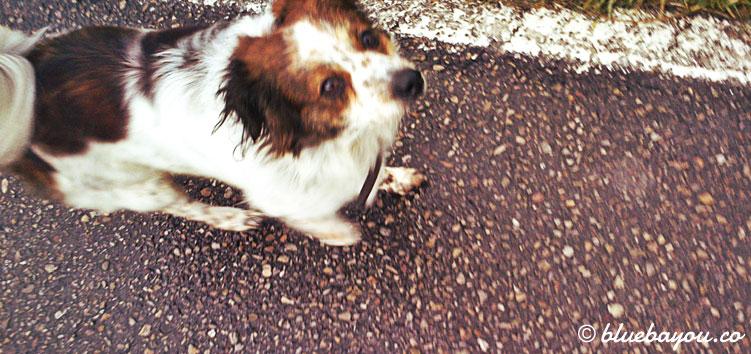 Ein Hund begleitet mich eine Weile entlang des Jakobswegs.