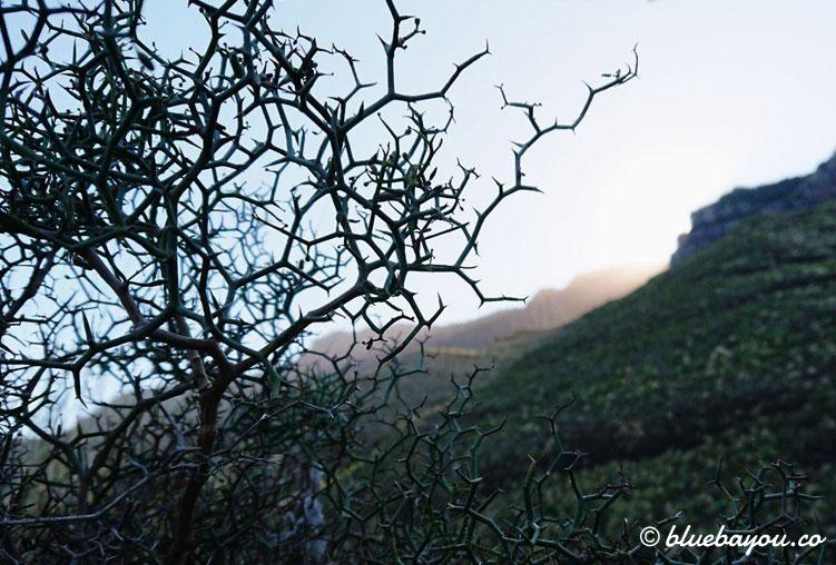 Dornige Büsche vor den Bergen Gran Canarias.