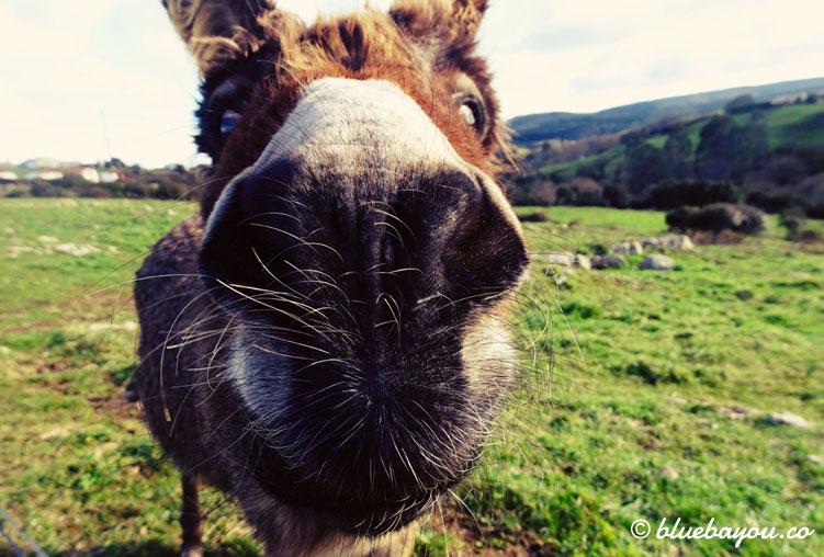 Nahaufnahme eines neugierigen Esels entlang des Jakobswegs.