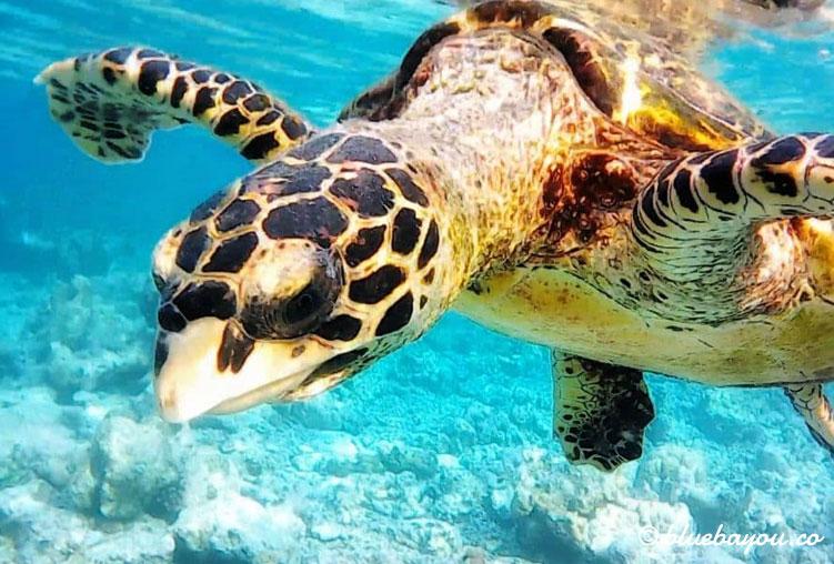 Schildkröte auf den Malediven beim Schnorcheln.