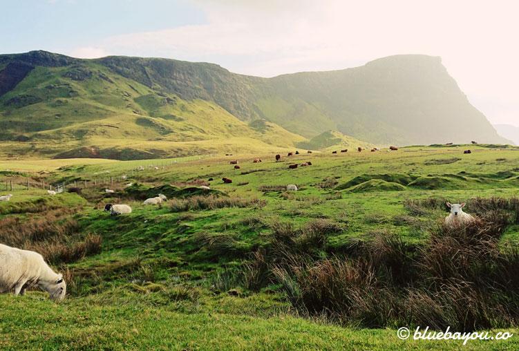 Fotoparade Grün: Schafe und Kühe auf Schottlands Wiesen vor den Bergen.