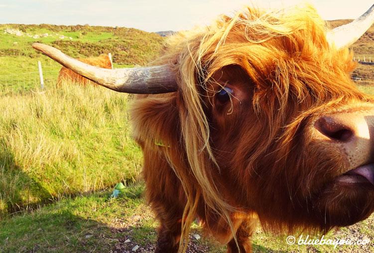 Fotoparade Neugierig: Dieses Highland Cattle nagte zuerst am Scheinwerfer des Autos, bevor es den Seitenspiegel ableckte.