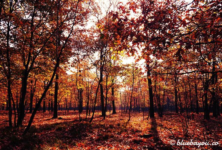 Fotoparade Rot: Der herbstliche Wald im holländischen Nationalpark De Hoge Veluwe.