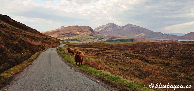 Fotoparade Tierisch - Zusatzbild: Eine Herde Highland Cattle entlang der Straße in Schottland.