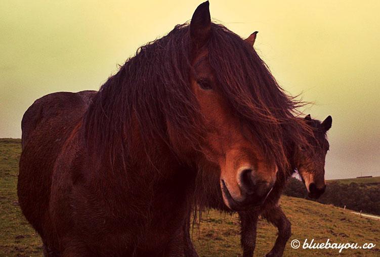Zwei Pferde auf dem Jakobsweg mit langer Mähne.