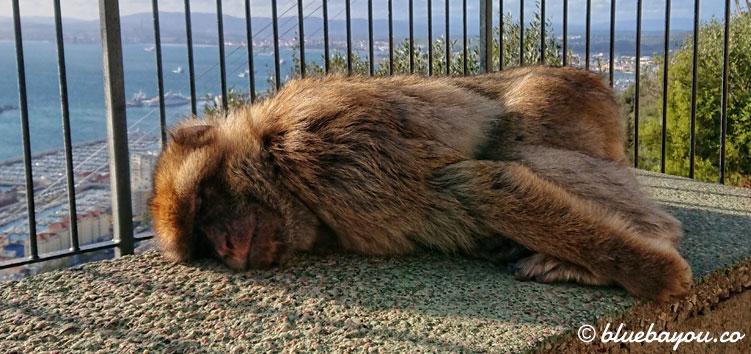 Fotoparade: Freilebender Affe in Gibraltar.