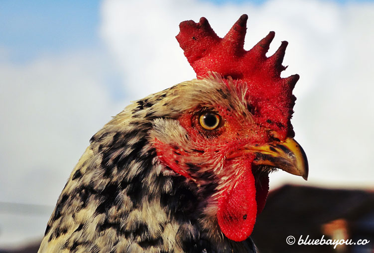 Nahaufnahme eines Hahns entlang des Küstenwegs in Spanien.