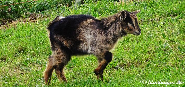 Eine junge Ziege auf dem Jakobsweg.