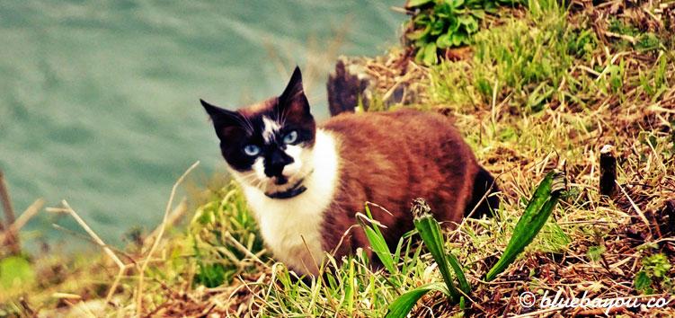 Katze mit blauen Augen auf dem Jakobsweg in Cudillero.