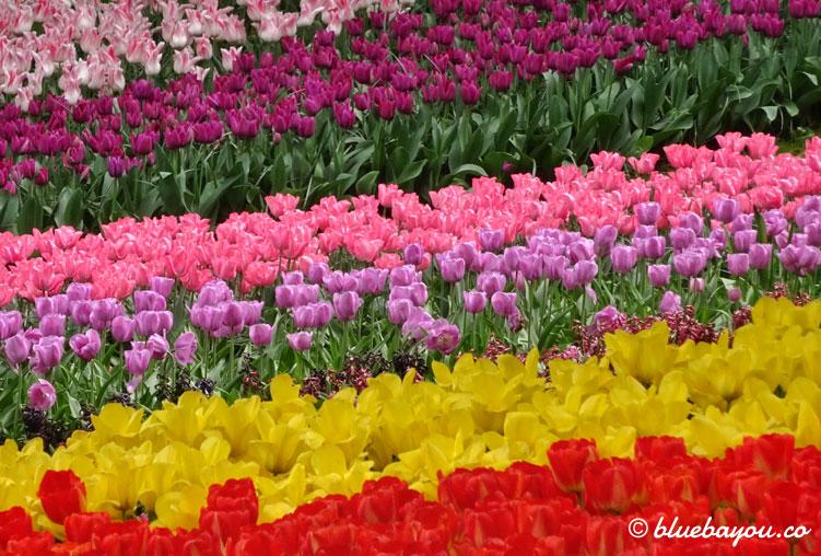 Einfarbige Tulpenfelder nebeneinander sorgen für Begeisterung im Keukenhof.