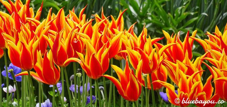 Flammende Tulpen sind das perfekte Fotomotiv im Keukenhof.