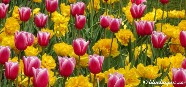 Pinke und gelbe Tulpen im Keukenhof.