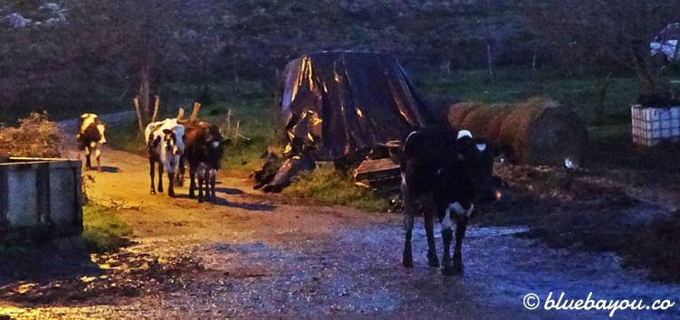 Kühe auf dem Jakobsweg: anfangs begegneten Sie mir auf einem breiteren Weg und nur vereinzelt.