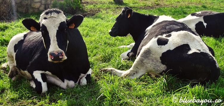 Liegende Kühe auf dem Jakobsweg.