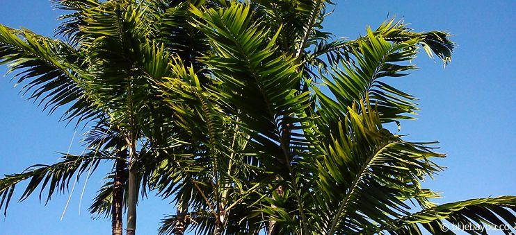 Palmen in Florida.