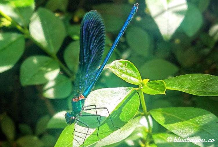 Besucher im Garten während des Corona-Stillstands und ohne 1,5 Meter Abstand: eine blaue Libelle.