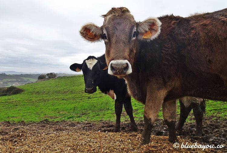 Zwei interessierte Rinder.