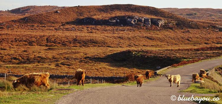 Kleinwüchsige Highland Cattle versperren die Straße auf dem Roadtrip durch Schottland.