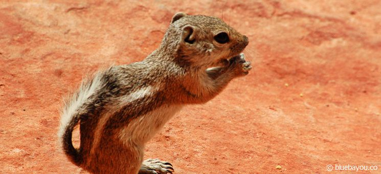 Ein Antelope Squirrel (Antilopenziesel) im Valley of Fire State Park im USA-Bundesstaat Nevada.
