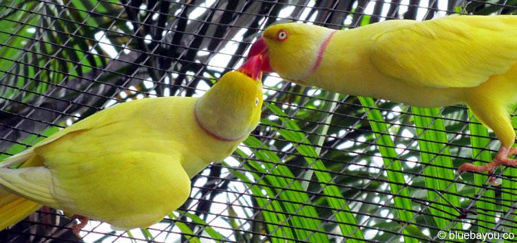 Zwei gelbe Vögel im Bird Park in Kuala Lumpur.