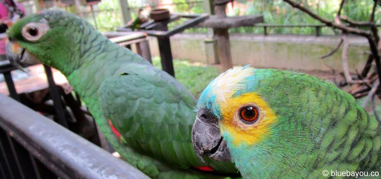 Zwei grüne Papageien, die im Bird Park in Kuala Lumpur gefüttert werden dürfen.
