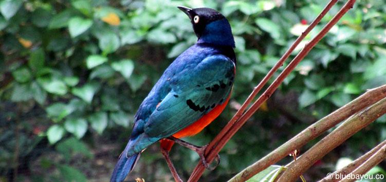 Ein blau-roter Vogel im Bird Park in Kuala Lumpur.